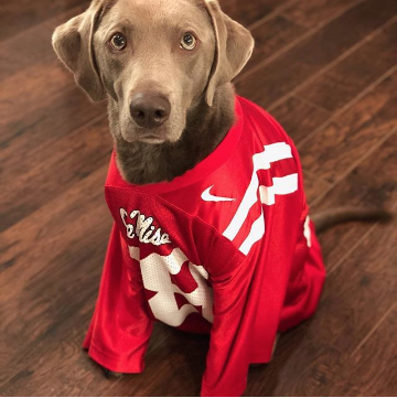 Brown dog in a red Ole Miss football jersey